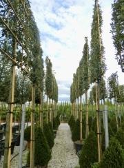 Quercus ilex pleached 12-14-16cm grade 180cm stem 150cm wide frame 150cm tall frame Container