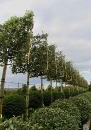 Quercus ilex pleached 14-16-18cm grade 180cm stem 150cm wide frame 150cm tall frame Container