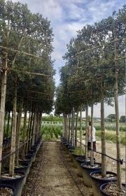 Quercus ilex pleached 16-18 18-20cm grade 180cm stem 180cm wide frame 120cm tall frame Container