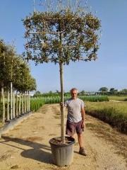 Quercus ilex pleached 16-18-20cm grade 180cm stem 180cm wide frame 120cm tall frame Container