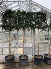 Taxus baccata Hicksii 14/16cm grade 170cm stem Frame 100x100cm Container 80L