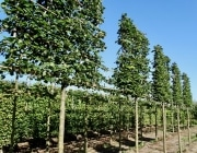Tilia cordata Rancho 20-25cm grade 180cm stem Frame 160cm wide x 170cm tall Total height 380cm Wire rootball