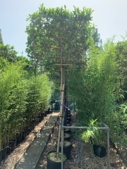 Prunus laurocerasus Caucasica pleached