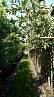 Prunus laurocerasus Caucasica pleached 12-14cm grade 180cm stem 120x120cm frame Container