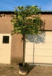 Prunus laurocerasus Novita 16-18cm grade 180cm stem 160 x 160cm frame Container