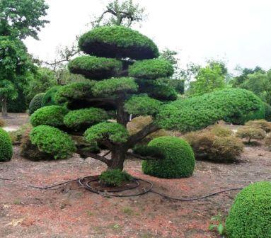 cloud pruned trees for sale