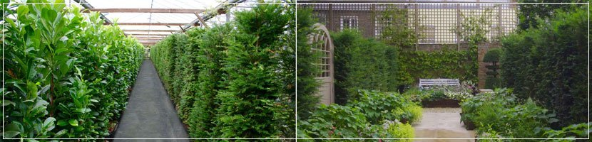 mature hedging plants page banner