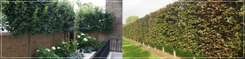 pleached trees page banner