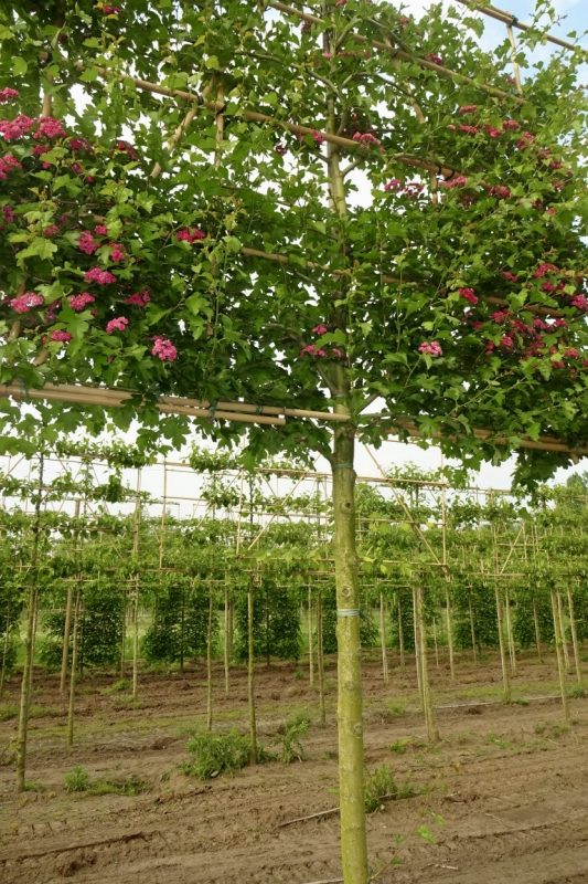 pleached hawthorn red