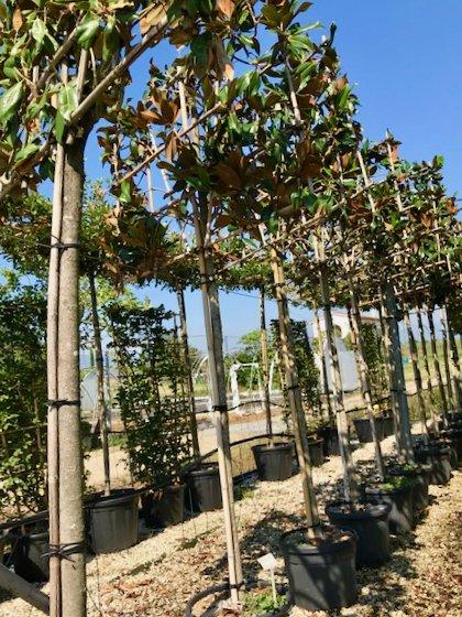 pleached Magnolia grandiflora