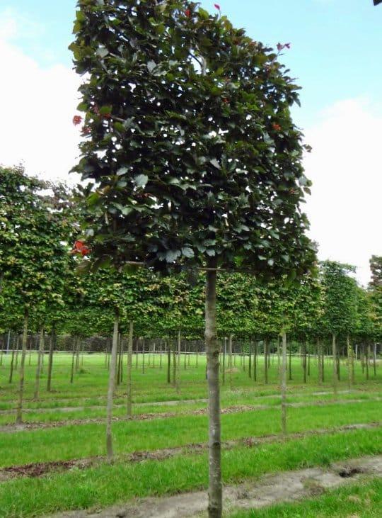 pleached copper beech tree fagus sylvatica 'Atropunicea'