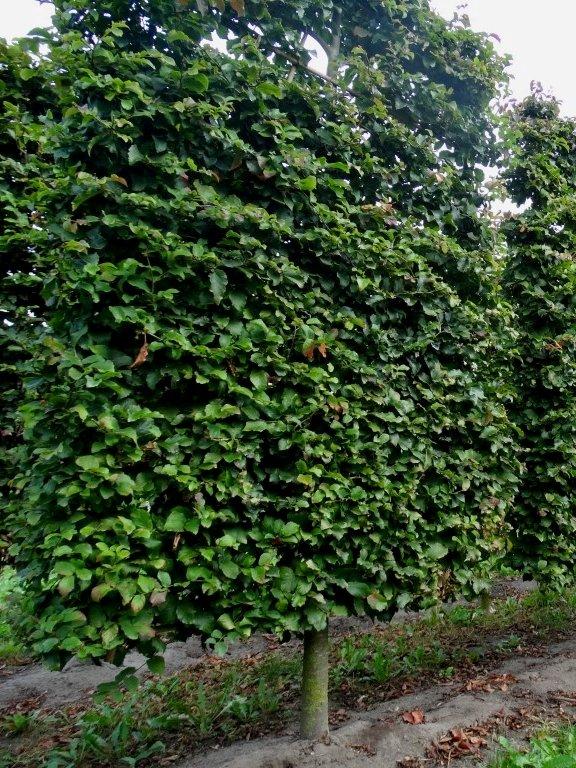 pleached persian ironwood