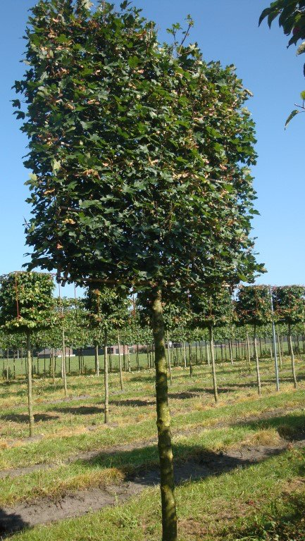 pleached field maple mature acer