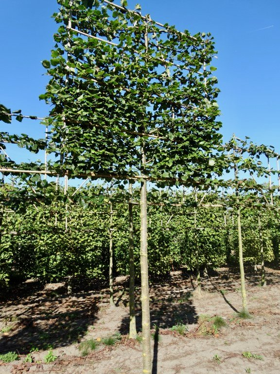 mature Tilia cordata Rancho pleached