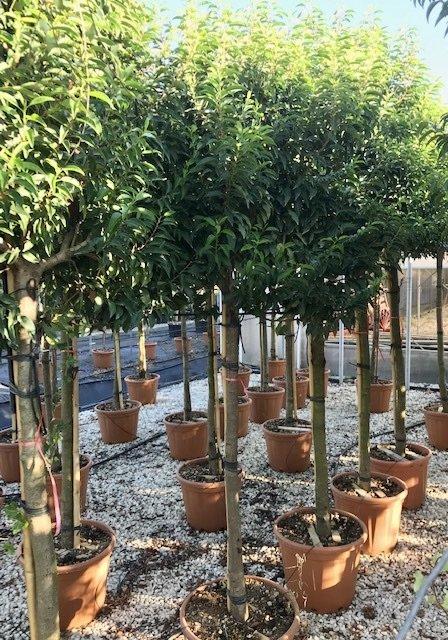 Prunus lusitanica Angustifolia ready for pleaching