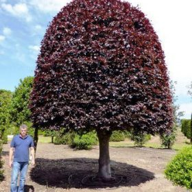 large topiary tree