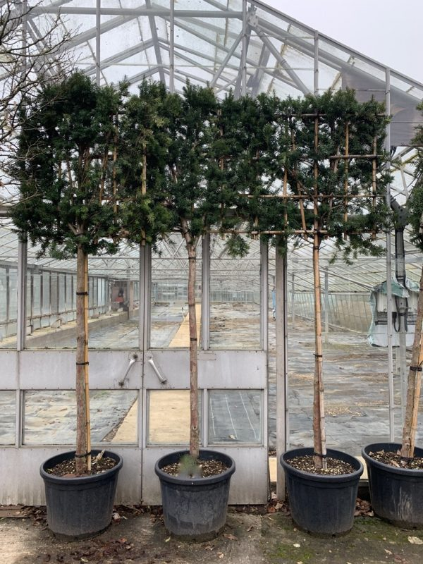 Taxus baccata Hicksii Pleached
