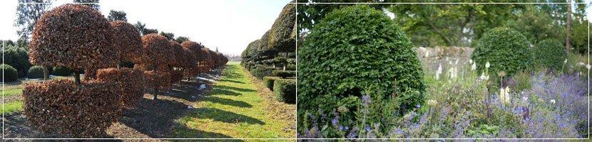 bespoke fagus topiary