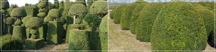 bespoke taxus topiary