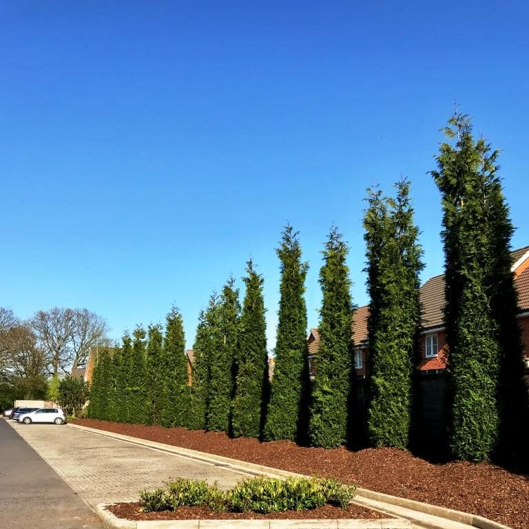 very tall hedge plants for screening 8 metre