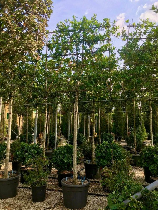 pleached holly illex aquifolium nellie stevens
