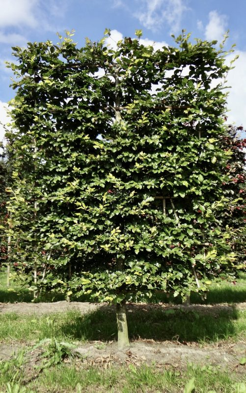 low pleached beech tree fagus sylvatica